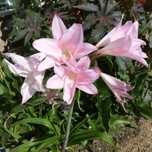 Big Bulbs Amaryllis Cardiocrinum Eremurus Eucomis To